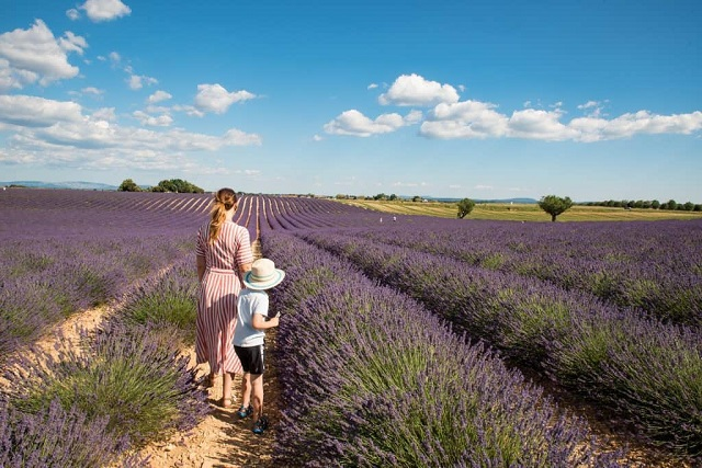 Beautiful Summer Lavender fields in Provence on Valensole plateau. One of our one-day excursion with visit to lavender shops